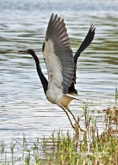 Tri Colored Heron Takeoff by Carol Groenen Most Beautiful Birds, Beautiful Roses, Life Is Beautiful, Animals Beautiful, Be The Creature, Shorebirds, Blue Heron, Big Bird, Sea Birds