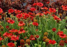 Gaillardia 'Red Sun' (Blanket flower)