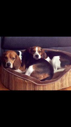 My beagles love this