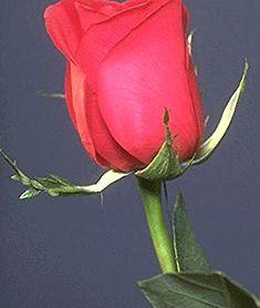 3dlat Com 13931052597 Gif 240 320 Beautiful Roses Flower Beauty Rose Images