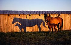 Horses and their shadows