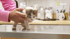 animals kitten kitty pet nat geo wild vet dr pol the incredible dr pol trending #GIF on #Giphy via #IFTTT http://gph.is/2aeIfeQ
