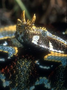 Snakes are scary to some people but I think vipers are so cool!! Rhino viper
