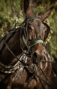 I've had a lot of horses but never a Mule All The Pretty Horses, Beautiful Horses, Animals Beautiful, Draft Mule, Mules Animal, Horses And Dogs, Draft Horses, Horse Pictures, Zebras
