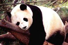 Tres osas panda vuelven a casa