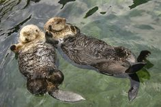 Sea otters sleep, eat, hunt, mate and give birth in the water. They like floting on their backs, even when they sleep. To prevent floating apart, they use kelp or giant seaweed as anchors. Or they hold each others hands!