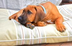 Our Rhodesian Ridgeback puppy - he is amazing. The perfect family dog. Came from…