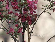 The second of three pictures within a blog post featuring house finches enjoying my crabapple tree @http://www.thelastleafgardener.com/2016/05/the-mayflower.html#more #house finches #crabapple tree