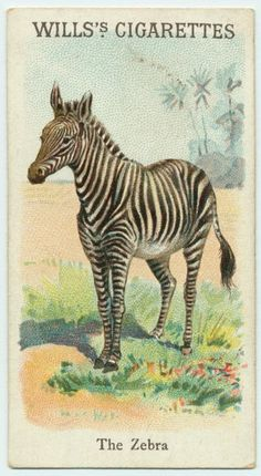African zebra or Equus zebra. Handcolored copperplate engraving from Ebenezer Siblys Universal System of Natural Framed Print Framed, Poster, Canvas Prints, Puzzles, Photo Gifts and Wall Art Fine Art Prints, Framed Prints, Canvas Prints, New York Public Library, Public Libraries, Natural History, Poster Size Prints, Pet Birds, Animal Kingdom