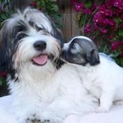 Havanese puppy kissing its mommy_so cute puppy picture.JPG