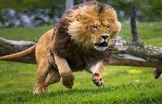 un pequeño león agresivo