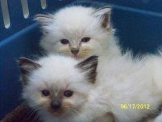 tica ragdoll kittens ready in july!