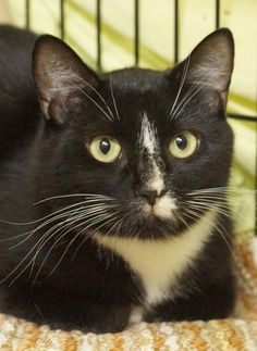 """Scrapper has been neglected by two different """"homes."""" She's at KC learning to trust again, looking for a forever family. Be the """"third time's the charm"""" for this wonderful cat."""