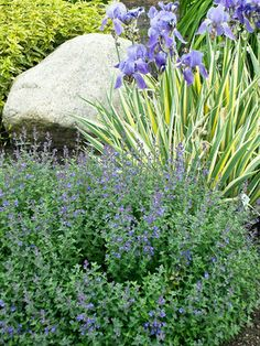 Contrast of Small-Leaf, Blue Flowering Nepeta 'Kit Cat' with the Blue Blooms and Up-Right Leaves of a Varigated Iris.
