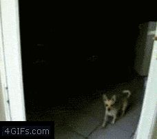 """The chihuahua lifts its paw to open """"imaginary door."""" Second dog repeats with little success. :D"""