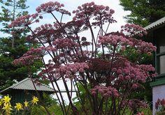 Photo #14321 | Angelica stricta Purpurea | plant lust
