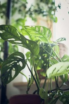 Monstera Adansonnii (Swiss Cheese plant) sounds delightfully delicious, but it is, in fact, toxic to cats and dogs. Houseplants Safe For Cats, Popular House Plants, Garden Nook, Swiss Cheese Plant, Moth Orchid, Prayer Plant, Plant Guide, Monstera Deliciosa, Time Photo