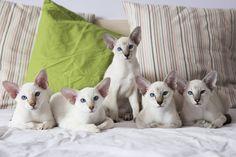 Siamese oriental cats , kitties