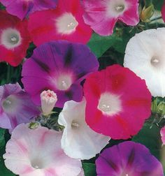 Morning Glory Seeds ★ Gardener s Choice Mixed - planted on east side of deck with kiwi vine Kiwi Vine, Climbing Vines, Flower Seeds, Climbers, Garden Landscaping, Color Mixing, Planting Flowers, Rose, Plants