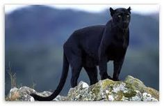 black panther in advertisement - Google Search