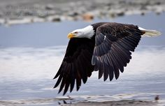 "Bald Eagles (Haliaeetus leucocephalus) from the wonderful ""Valley of the Eagles"" outside Haines, Alaska - Chilkat's Bald Eagles 