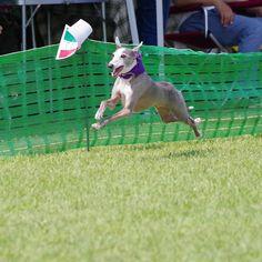 WEBSTA @ mint20060417 - 海おさ30メートル走..楽そうに走るjayくん..#itariangrayhound #イタリアングレーハウンド #イタグレ#海おさ #umiosa #足柄coco#犬 #dog #わんこ #ワンズ #愛犬 #instadog #iggy