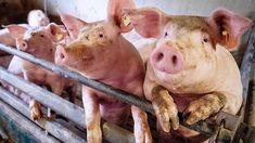 Die vierwöchige Zwangsschließung von Deutschlands größtem Schlachtkonzern Tönnies im Zuge der Coronavirus-Pandemie hat die Auswüchse der Tierindustrie sichtbar gemacht: Durch die – am Freitag aufgehobene – Verordnung hat sich ein Rückstau von rund 400.000 schlachtreifen Schweinen gebildet, landesweit herrscht Gedränge in den Ställen. Darunter zu leiden haben Tiere und Schweinebauern gleichermaßen. Swine Flu, Asia News, Pig Farming, Influenza, Flu Season, China, Animals, Leiden, Sword