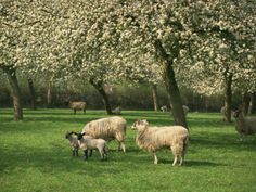Sheep and Lambs Beneath Apple Trees in a Cider Orchard in Herefordshire, England Photographic Print By Michael Busselle Spring Pictures, Sheep And Lamb, Beautiful Fruits, Herefordshire, Apple Orchard, Apple Tree, Botanical Art, Daffodils, Farm Animals