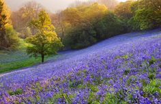 Bluebell meadow, Dorset, England. Photograph by Simon Byrne. Posted on Art & Landscape Design FB page.