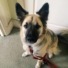 So I'm ready for my walk... Weekend starts here #declandog #TGIF #dogsofinstagram #dogsandpals #gsdlove #adoptdontshop #brighton