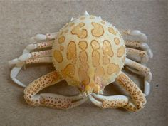 Purse Crab~noteable for it's globular/rounded carapace, spidery  chelipeds and red tinged splotches. Beautiful.