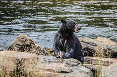 A BEAR'S LUNCH- B: Available as a fine art print, canvas and greeting cards.   Black Bear at Neets Bay, Alaska