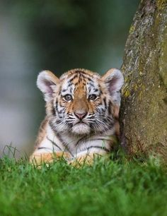 Trendy Ideas For Baby Animals Wild Tiger Cubs Baby Animals Pictures, Cute Baby Animals, Animals And Pets, Funny Animals, Wild Animals, Nature Animals, Cute Tiger Cubs, Cute Tigers, Beautiful Cats