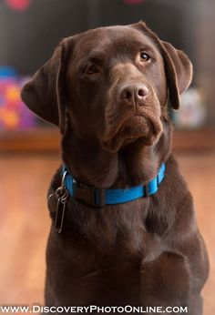 Cedar the service dog, chocolate lab - Tap the pin for the most adorable pawtastic fur baby apparel! You'll love the dog clothes and cat clothes! <3