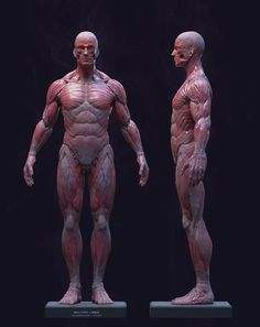 Exceptional Drawing The Human Figure Ideas. Staggering Drawing The Human Figure Ideas. 3d Anatomy, Anatomy Sketches, Anatomy Poses, Zbrush Anatomy, Human Anatomy For Artists, Human Anatomy Drawing, Body Drawing, Human Figure Drawing, Figure Drawing Reference
