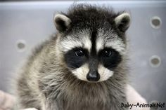 We've gathered our favorite ideas for Baby Raccoon Wallpapers Baby Animals, Explore our list of popular images of Baby Raccoon Wallpapers Baby Animals. Baby Raccoon, Cute Raccoon, Funny Animal Memes, Cat Memes, Funny Animals, Cute Little Baby, Cute Babies, Cute Baby Animals, Animals And Pets