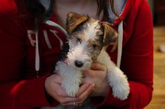 Lucy WFT puppy 8 weeks.