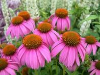 Sold as 'Crazy Pink' coneflower, 'Adam Saul' is a prolific bloomer with flower power to spare. Expect a one-year-old plant to pump out over 100 blooms. This is definitely the right coneflower to include in a cutting garden. Pink petals dangle beneath an orange cone; flowers are fragrant. Plants grow to 30 inches tall and are hardy in zones 4 to 9.