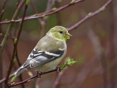 American Goldfinch | by Andy Eckerson