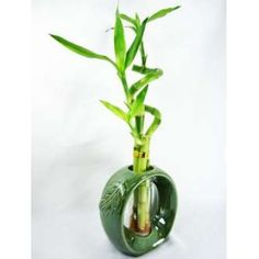 9GreenBox - Lucky Bamboo Spiral Style with Hollow Vase Indoor Bamboo Plant, Lucky Bamboo Plants, Indoor Plants, Bamboo Stalks, Fast Growing Plants, Vase Shapes, Plant Design, Live Plants, Vases Decor