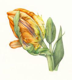 Orange Parrot Tulip © Fiona Wheeler SBA SFP