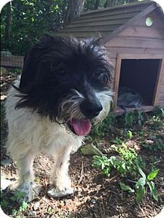 7/2016***Senior! 12 years old. Pictures of Jazmine a Cocker Spaniel/Terrier (Unknown Type, Small) Mix for adoption in Bernardston, MA who needs a loving home.