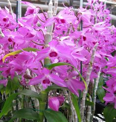 Dendrobium Nestor Nagata - The fragrance of one of these beauties will fill the room with the fragrance of crisp hyacinth.. the orchid flower grow right on the cane!