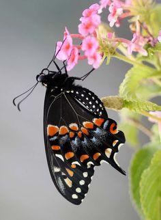 ~Black Swallowtail on Lantana~