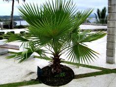Cute Baby fan palm in sidewalk pot.