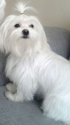 Dogs maltese funny ideas for 2019 Havanese Puppies, Maltese Dogs, Baby Puppies, Cute Dog Pictures, Funny Animal Pictures, Baby Animals, Cute Animals, Puppy Cut, Teacup Maltese