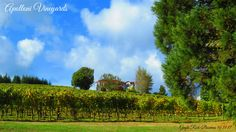 Apolloni Vineyards October 2017 photo by Gayle Rich-Boxman 2017 Photos, Countryside, Oregon, Vineyard, October, Outdoor, Beautiful, Outdoors, Vineyard Vines
