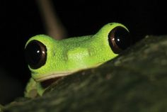 Frogs such as this lemur leaf frog are threatened by a fungus that can kill up to 90 percent of amphibians in a stream.