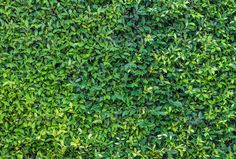 Green leaf wall - Stock Photo - Images
