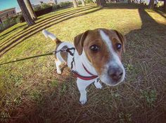 All'improvviso un Tommy  Foto di: @pinetounica  Per un Repost: Follow  #BauSocial  Follow our pawtner: @miaosocial  Cocciuto Tommy #animals #animallovers #animalsofinstagram  #cute #dayshots  #fauna #ilovemydog #instanature #instanaturelover #natgeohub #natura  #cuccioli #puppies #donna #cane #dog #jackrussell #jackrussellterrier #ilovemyjrt #instajacks #jackrussellterrieritalia #jrtitalia #jackrussellmoments